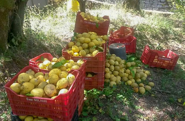 Antico Casale farm stay in Sorrento- Sorrento lemons